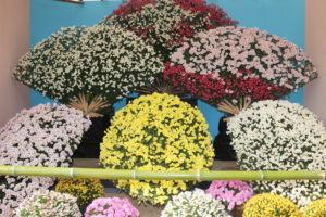 笠間の菊まつり