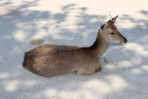 厳島の神鹿