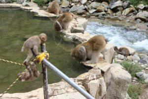 温泉を飲む猿